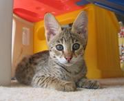 Саванна F2,  каракал и Серваль котят доступна.