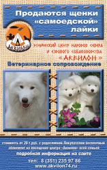 Продам  щенков Самоедской лайки от питомника Аквилон Челябинск