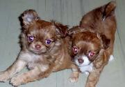 Продаются щенки чихуахуа