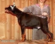 Доберман. Перспективные щенки для выставок и спорта