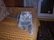 Вязка кошек с шотландским вислоухим котом